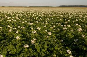 champs de pomme de terre